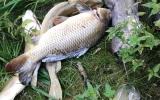Úhyn ryb v Čimickém rybníce