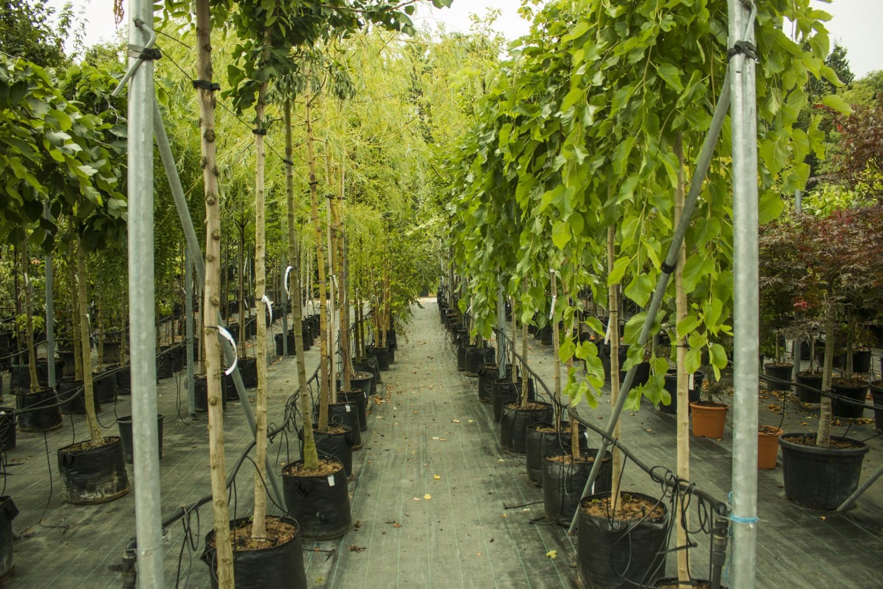 nabídka vzrostlých stromů