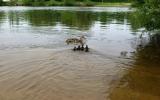 zachráněná kachní rodina