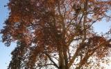 Ošetřili jsme památný strom platan javorolistý