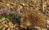 zachráněný ježek