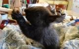 péče o veverčí mládě
