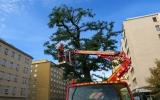 ořezáváme koruny stromů v Sokolovské ulici