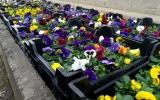 V Zahradnictví Ďáblice jsme zahájili prodej macešek 15 Kč za kus