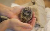 Rok 2019 byl ve znamení rekordního množství přijatých ježků