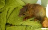 mláďata veverek jsou suchem a horkem velmi ohrožená