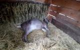 uhynulá koza