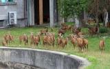 Mufloni z areálu Thomayerovy nemocnice