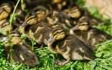 Kachní mláďata