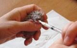 Ježčata. Kojení mláděte ježka východního