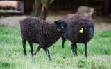 Městská farma - ovce