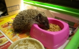 krmení ježka