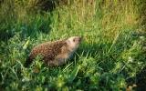 vypouštění ježka