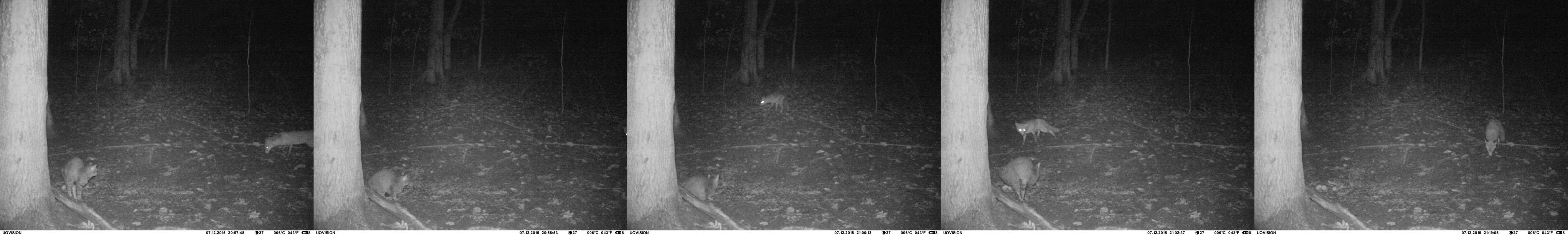 Napjaté večerní setkání kočky s liškou