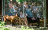 kamerunské kozy