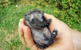 Jedno z mláďat ježka západního, která přišla o své hnízdo