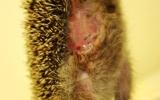 Mládě ježka západního s otevřenou ránou přes velkou část břicha