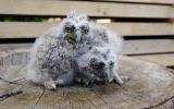 Dvěma mláďatům kalouse ušatého spadlo při bouřce hnízdo