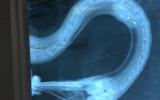 Rentgenový snímek labutě, která měla v jícnu zapíchnutý rybářský háček