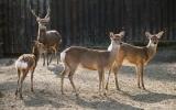 Stádo jelena siky