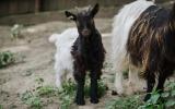 walliserské kozy
